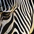 Close Up Zebra by Helaine Cummins