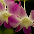 Close View Of A Pink Orchid Flowers by Todd Gipstein