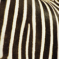 Close View Of A Zebras Stripes by Stacy Gold