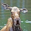 Close Wet Moose by Gary Beeler