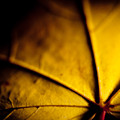 Closeup Autumn Leaves Mapples by Raimond Klavins