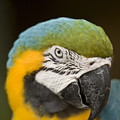 Closeup Of A Captive Blue-and-yellow by Tim Laman