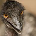 Closeup Of A Captive Emu by Tim Laman