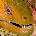 Closeup Of A Giant Moray Eel by Tim Laman