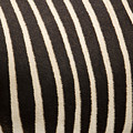 Closeup Of A Grevys Zebras Coat Equus by Tim Laman