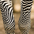 Closeup Of A Grevys Zebras Legs Equus by Tim Laman
