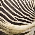 Closeup Of A Grevys Zebras Rear End by Tim Laman