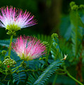 Closeup Of A Mimosa Bloom by Jeanette C Landstrom