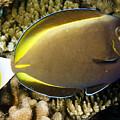 Closeup Of A Whitecheek Surgeonfish by Tim Laman