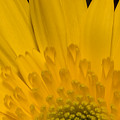 Closeup Of A Yellow Chrysanthemum by Tim Laman