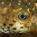 Closeup Of A Yellowspotted Burrfish by Tim Laman