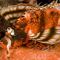 Closeup Of An Ocellated Lionfish by Tim Laman