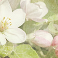 Closeup Of Apple Blossoms In Early by Sandra Cunningham