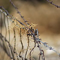 Closeup Of Barbed Wire And Dried Vines In Tawny by Colleen Cornelius