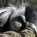 Closeup Of Black And White Angolian Primate Sleeping On Log Raft by Sharon Minish