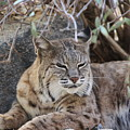Closeup Of Bobcat by Colleen Cornelius
