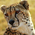 Closeup Of Cheetah by Wesley Lazarus