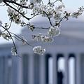 Closeup Of Cherry Blossoms by Kenneth Garrett