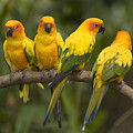 Closeup Of Four Captive Sun Parakeets by Tim Laman