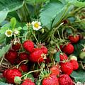 Closeup Of Fresh Organic Strawberries Growing On The Vine by Jeelan Clark