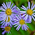 Closeup Of Leafy Bract Asters On Iron Creek Trail In Sawtooth National Wilderness Area-idaho  by Ruth Hager