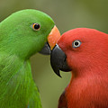 Closeup Of Male And Female Eclectus by Tim Laman