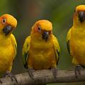 Closeup Of Three Captive Sun Parakeets by Tim Laman