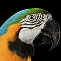 Closeup Portrait Of A Blue And Yellow Macaw Parrot Face Isolated On Black Background by Sergey Taran