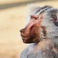 Closeup Portrait Of A Male Baboon by Nick Biemans
