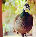Closeup Portrait Of A Peafowl by Srdjan Kirtic