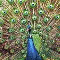 Closeup Portrait Of An Indian Peacock Displaying Its Plumage by Srdjan Kirtic