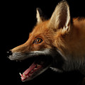 Closeup Portrait Of Red Fox In Profile Isolated On Black  by Sergey Taran
