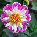 Closeup View Of A Dahlia That Was In The Cesky Krumlov Castle Gardens by Richard Rosenshein