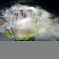 Cloud Rose by Clayton Bruster