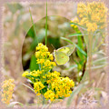 Clouded Sulphur Butterfly Sipping Nectar by Kae Cheatham