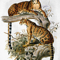 Clouded Leopard, 1883 by Granger