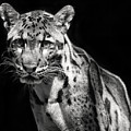 Clouded Leopard by Art Cole