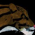 Clouded Leopard by D Hackett