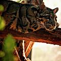 Clouded Leopard II by Steve Harrington