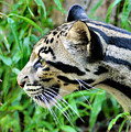 Clouded Leopard In The Grass by Kristin Elmquist