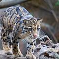 Clouded Leopard by SR Green