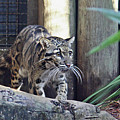 Clouded Leopard by Terri Mills
