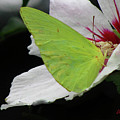 Cloudless Giant Sulphur Butterfly  by Donna Brown