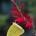 Cloudless Sulphur And Pineapple Sage by Chip Gilbert