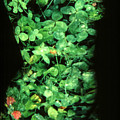 Clover by Arla Patch