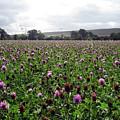 Clover Field Wiltshire England by Kurt Van Wagner