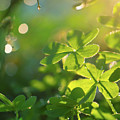 Clover Leaf In Garden, Macro by Konstantin Sutyagin