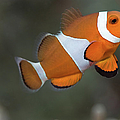 Clown Anemonefish (amphiprion Ocellaris) by Steven Trainoff Ph.D.