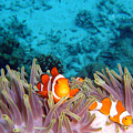 Clown Fishes by takau99