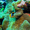 Clown2 With Anemone by Dan Norton